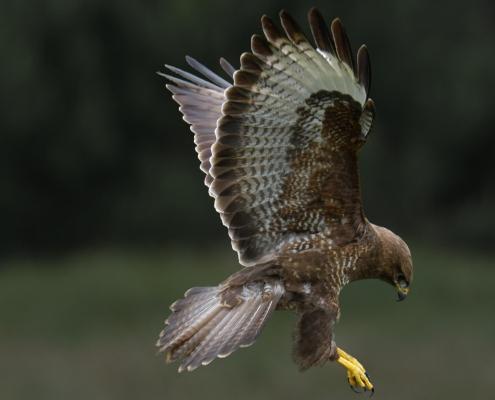 Common buzzard, Buteo buteo, Myszołów, bird of prey, brown bird bird in flight wingspan nature photography wildlife puszcza wkrzańska rezerwat Świdwie Artur Rydzewski
