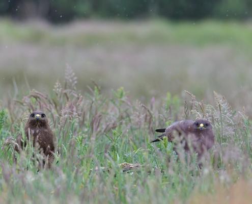 Common buzzard, Buteo buteo, Myszołów, bird of prey, brown bird couple, two birds nature photography wildlife puszcza wkrzańska rezerwat Świdwie Artur Rydzewski