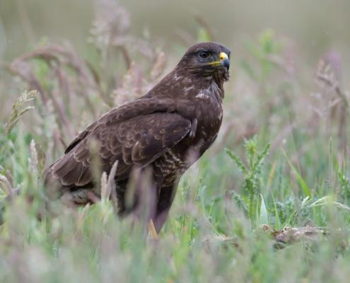 Common buzzard, Buteo buteo, Myszołów, bird of prey, brown bird nature photography wildlife puszcza wkrzańska rezerwat Świdwie Artur Rydzewski