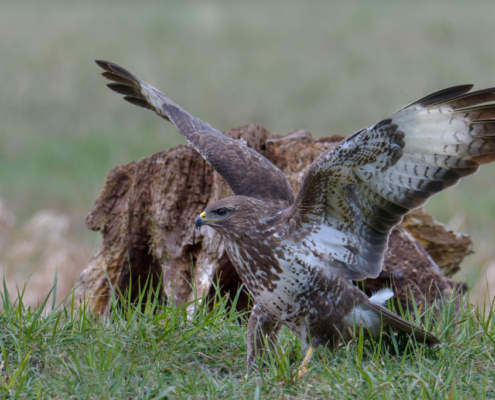 bird of prey, Common buzzard bird, buzzard raptor, wildlife nature photography, wings