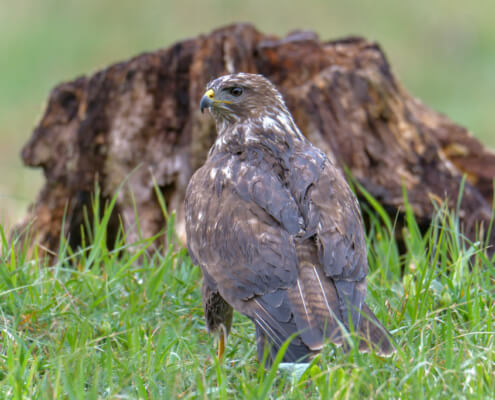 Bird of prey Common buzzard, Common buzzard, Buteo buteo, wildlife nature photography
