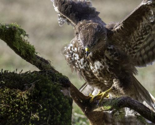 wings of Common buzzard, Head of bird of prey, common buzzard, Buteo buteo, Bird of prey, Common buzzard, brown bird, close up wild life nature photography, Artur Rydzewski