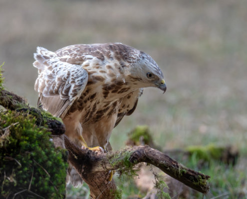 Common buzzard sitting on branch, branch, common buzzard, Buteo buteo, Bird of prey, Common buzzard, brown bird, close up wild life nature photography, Artur Rydzewski