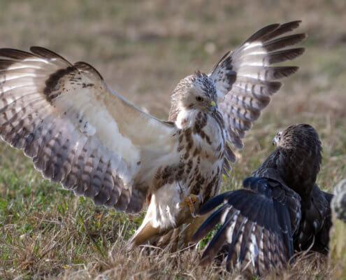 Birds of prey Common buzzards
