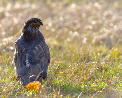 Head of bird of prey, common buzzard, Buteo buteo, Bird of prey, Common buzzard, brown bird, close up wild life nature photography, Artur Rydzewski