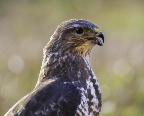 Head of bird of prey