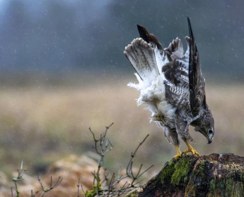 landing common buzzard, wet, water, rain, Wet common buzzard, Buteo buteo, Bird of prey, Common buzzard, brown bird, close up wild life nature photography, Artur Rydzewski