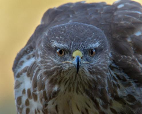Buteo buteo, Bird of prey, Common buzzard, brown bird, close up wild life nature photography, Artur Rydzewski