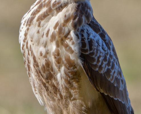 Bird of prey, Common buzzard, white brown bird, sitting on branch, close up wild life nature photography, Artur Rydzewski