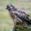 brown bird Bird of prey Common buzzard sitting on branch, close up nature photography, Artur Rydzewski