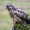 Bird of prey Common buzzard on branch