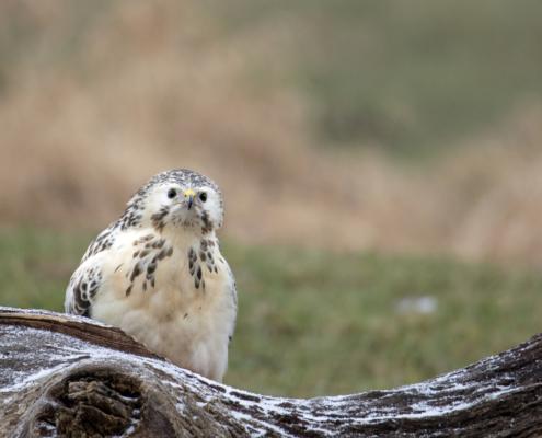 white bird, Bird of prey Common buzzard close up buteo buteo bird, myszołów zwyczajny, nature photography, Artur Rydzewski