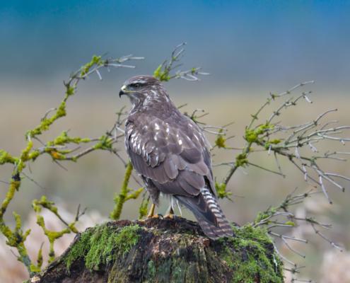 Bird of prey Common buzzard on the branch nature photography