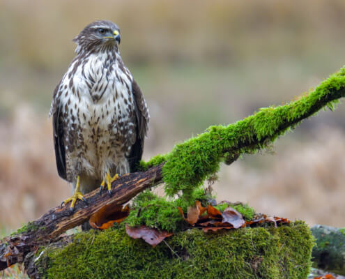 Bird of prey Common buzzard on the branch nature photography, beautifule, white brown bird