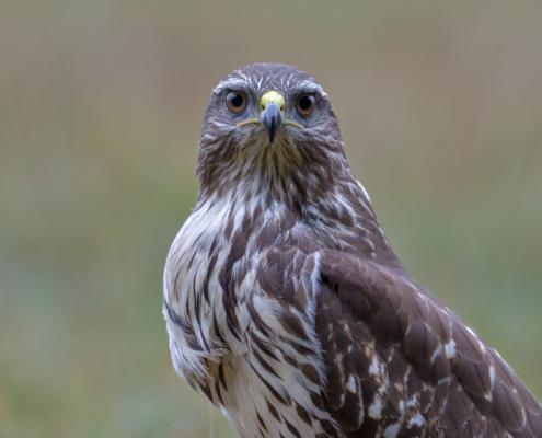 Bird of prey Common buzzard close up nature photography, Artur Rydzewski