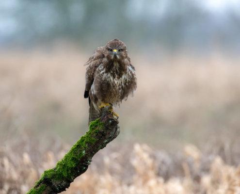 common buzzard sitting on branch, Buteo buteo, Bird of prey, Common buzzard, brown bird, close up wild life nature photography, Myszołów, Artur Rydzewski