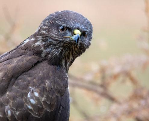 common buzzard, Buteo buteo, Bird of prey, Common buzzard, brown bird, close up wild life nature photography, Artur Rydzewski myszołów zwyczajny