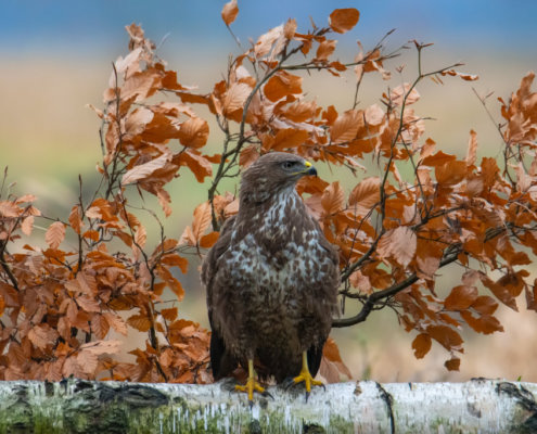 Common buzzard sitting on branch, common buzzard, Buteo buteo, Bird of prey, Common buzzard, brown bird, close up wild life nature photography, Artur Rydzewski, leaves