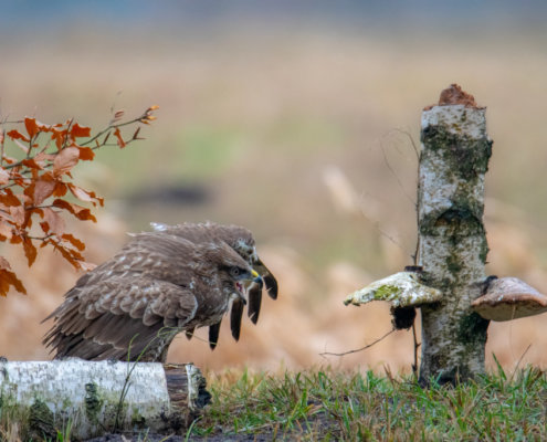 walking Common buzzard, common buzzard, Buteo buteo, Bird of prey, Common buzzard, brown bird, close up wild life nature photography, Artur Rydzewski