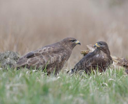 brown bird, Bird of prey Common buzzard, buteo buteo, Myszołów, wildlife nature photography, Artur Rydzewski, two birds