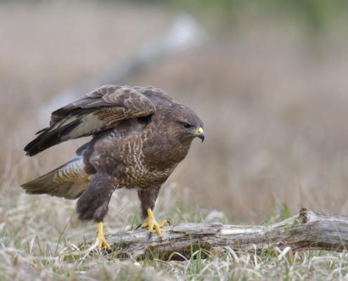 Buteo buteo, Bird of prey, Common buzzard, brown bird, sitting on branch, wings, close up wild life nature photography, Artur Rydzewski, myszołów ptak drapieżny, puszcza wkrzańska, rezerwat świdwie, natura, ptak