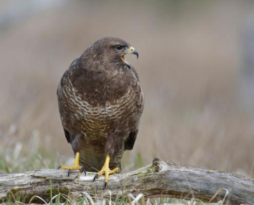 brown bird, Bird of prey Common buzzard, buteo buteo, Myszołów, wildlife nature photography, Artur Rydzewski