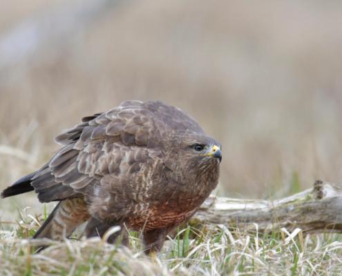 brown bird, Bird of prey Common buzzard, buteo buteo, Myszołów, wings wildlife nature photography, Artur Rydzewski, puszcza wkrzańska, rezerwat świdwie