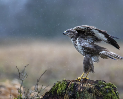 wet, water, rain, wet common buzzard, common buzzard, Buteo buteo, Bird of prey, Common buzzard, white brown bird, bird, close up wild life nature photography, Artur Rydzewski