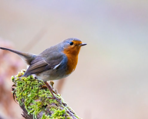 European Robin, robin sitting on branch, Erithacus rubecula, small bird, bird, robin, orange bird, wild life nature photography, rudzik raszka, Artur Rydzewski photography