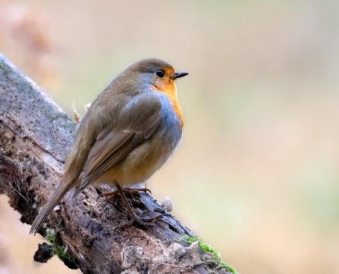 European Robin, robin sitting on branch, Erithacus rubecula, small bird, bird, robin, orange bird, wild life nature photography, Artur Rydzewski