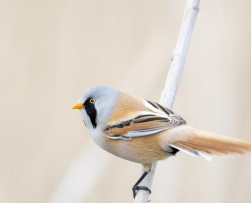 Bearded reedling, small birds, Panurus biarmicus, wildlife nature photography, wąsatka, ptak, mały ptak, bird, Artur Rydzewski