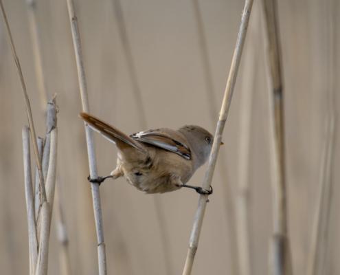 Bearded reedling, small birds, Panurus biarmicus, wildlife nature photography