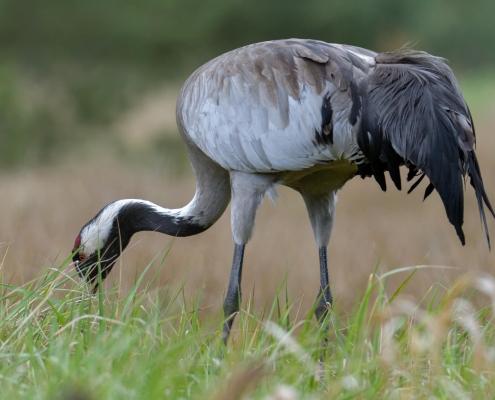 Common crane, Grus grus, Żuraw, big grey bird walking alone bird wildlife nature photography puszcza wkrzańska rezerwat świdwie Artur Rydzewski