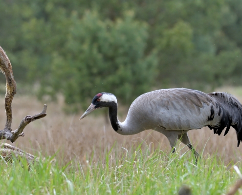 Common crane, Grus grus, Żuraw, bird walking bird wildlife nature photography Artur Rydzewski Puszcza wkrzańska rezerwat świdwie