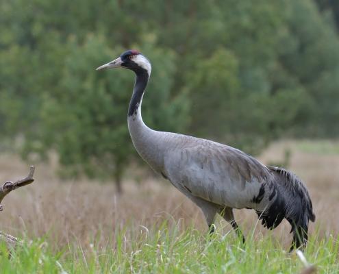 Common crane, Grus grus, Żuraw, bird walking bird green background wildlife nature photography Artur Rydzewski Puszcza wkrzańska rezerwat świdwie