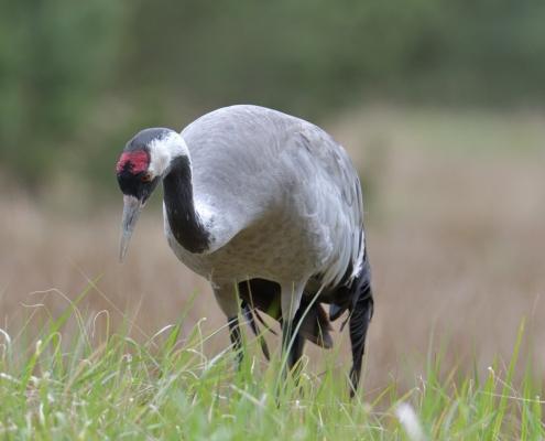 Common crane, Grus grus, Żuraw, big grey bird walking alone wildlife nature photography puszcza wkrzańska rezerwat świdwie Artur Rydzewski