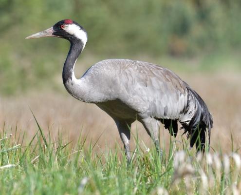 Common crane, Grus grus, Żuraw, bird walking bird stand wildlife nature photography Artur Rydzewski Puszcza wkrzańska rezerwat świdwie