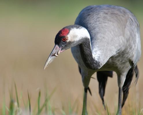Common crane, Grus grus, Żuraw, bird walking bird close up head beak wildlife nature photography Artur Rydzewski Puszcza wkrzańska rezerwat świdwie