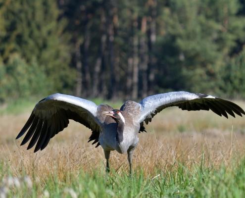 Common crane, Grus grus, Żuraw, bird walking bird landing wingspan wildlife nature photography Artur Rydzewski Puszcza wkrzańska rezerwat świdwie