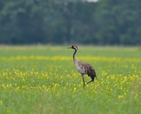 Common crane, Grus grus, Żuraw, big grey bird walking yellow flowers field wildlife nature photography puszcza wkrzańska rezerwat świdwie Artur Rydzewski