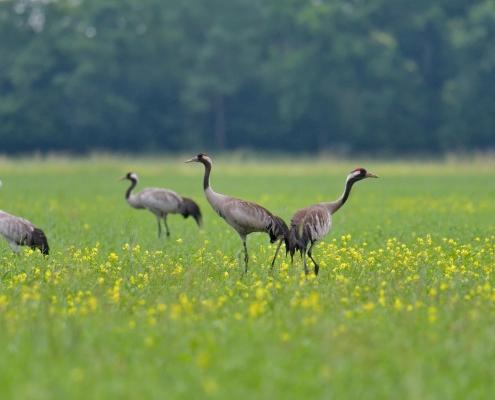 Common crane, Grus grus, Żuraw, big grey bird walking couple birds yellow flowers field wildlife nature photography puszcza wkrzańska rezerwat świdwie Artur Rydzewski