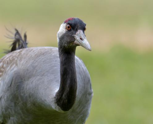 Common crane, wildlife nature photography, close up crane head beak eyes neck