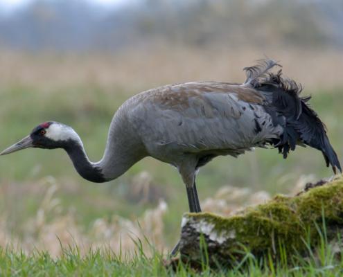 Common crane, wildlife nature photography, close up crane