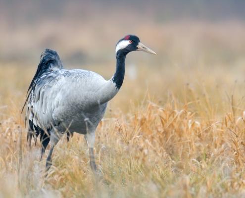 Common crane, Grus grus, Żuraw big bird with red cup, in orange grass wildlife nature photography Artur Rydzewski