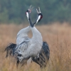 Common crane, Grus grus, Żuraw big bird with red cup, in orange grass, singing birds, singing cranes, wildlife nature photography Artur Rydzewski, toki