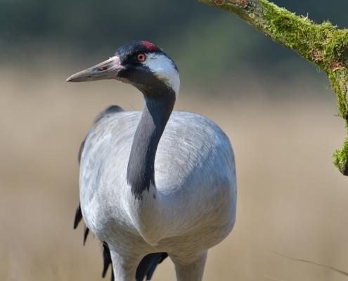 Common crane, Grus grus, Żuraw big bird with red cup, close up, head, wildlife nature photography Artur Rydzewski