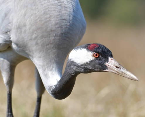 Common crane, Grus grus, Żuraw big bird with red cup, big bird close up, wildlife nature photography Artur Rydzewski