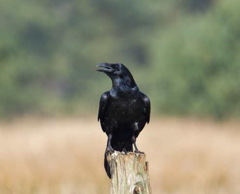 Common raven, Corvus corax, sitting black bird of prey wildlife nature photography Artur Rydzewski