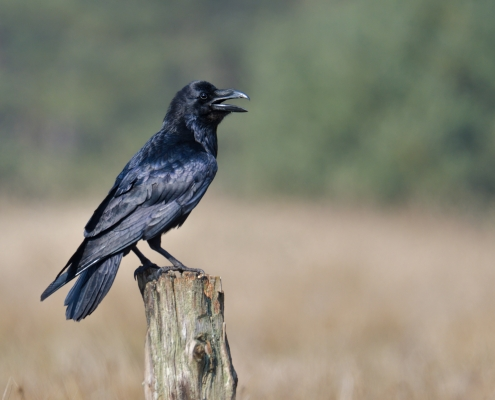 Common raven, Corvus corax, singing and sitting black bird of prey wildlife nature photography Artur Rydzewski