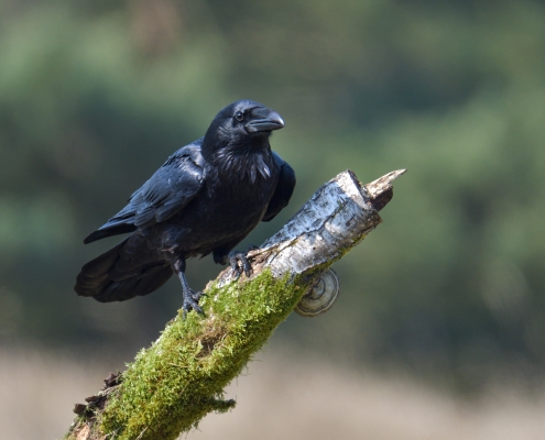 Common raven, Corvus corax, sitting on branch black bird of prey wildlife nature photography Artur Rydzewski